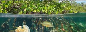 mangrove fish